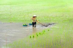 L'agricoltore vietnamita lavora al giacimento del riso Ninh Binh, Vietnam Fotografie Stock