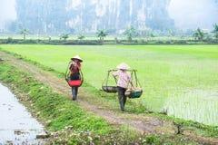 L'agricoltore vietnamita lavora al giacimento del riso Ninh Binh, Vietnam Immagine Stock Libera da Diritti