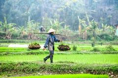 L'agricoltore vietnamita lavora al giacimento del riso Ninh Binh, Vietnam Immagini Stock