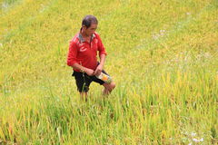 L'agricoltore vietnamita sceglie la buona risaia per vendita Fotografie Stock