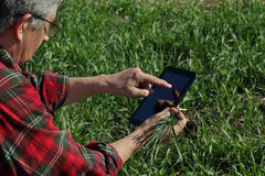 L'agricoltura, agricoltore esamina la pianta del grano nel campo Fotografie Stock Libere da Diritti