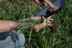 L'agricoltura, agricoltore esamina la pianta del grano nel campo Fotografia Stock Libera da Diritti