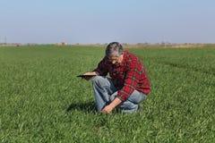 L'agricoltura, agricoltore esamina la pianta del grano nel campo Fotografia Stock