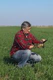 L'agricoltura, agricoltore esamina la pianta del grano nel campo Fotografie Stock