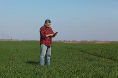 L'agricoltura, agricoltore esamina la pianta del grano nel campo Immagine Stock