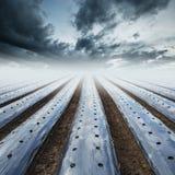 L'agricoltura del campo che ricopre il film di pacciame protegge Fotografie Stock