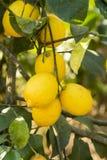 L'agricoltura del limone Fotografia Stock Libera da Diritti