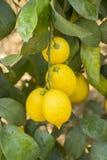 L'agricoltura del limone Fotografie Stock Libere da Diritti