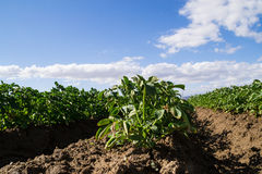 L'agricoltura di California Fotografie Stock