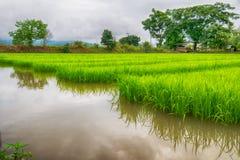 L'agricoltura di piccolo germoglio del riso nell'area coltivata con riflette Fotografia Stock Libera da Diritti