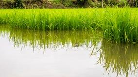 L'agricoltura di piccolo germoglio del riso nell'area coltivata con riflette Fotografia Stock