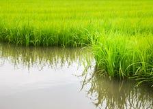 L'agricoltura di piccolo germoglio del riso nell'area coltivata con riflette Immagini Stock Libere da Diritti