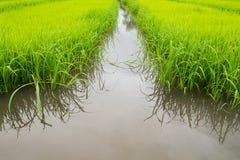 L'agricoltura di piccolo germoglio del riso nell'area coltivata con riflette Fotografie Stock Libere da Diritti