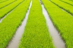 L'agricoltura di piccolo germoglio del riso nell'area coltivata con riflette Immagine Stock