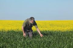 L'agricoltura, giacimento di grano d'esame dell'agricoltore con il seme di ravizzone pianta la i Fotografia Stock