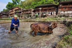 L'agriculteur chinois laboure la terre des gisements de riz, utilisant la vache à force image libre de droits