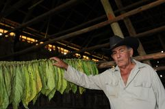 L'agriculteur cubain montrant son tabacco de séchage part dans Vinales | Kuba images libres de droits