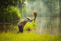 L'agriculteur de l'Asie a transplanté des jeunes plantes de riz à envoyer pour la plantation images stock