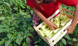 L'agriculteur a moissonné des poivrons végétaux en serre chaude Images libres de droits