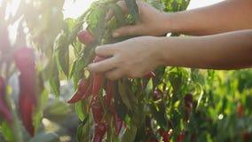 L'agriculteur moissonne des poivrons de piment banque de vidéos