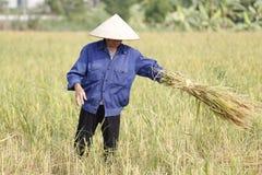 L'agriculteur moissonne l'usine de riz Images libres de droits