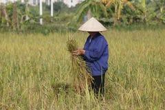 L'agriculteur moissonne l'usine de riz Images stock