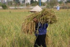 L'agriculteur moissonne l'usine de riz Photos stock