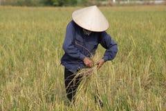 L'agriculteur moissonne l'usine de riz Photo libre de droits
