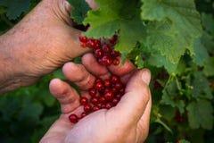 L'agriculteur rassemble les baies mûres de groseille rouge Photographie stock libre de droits