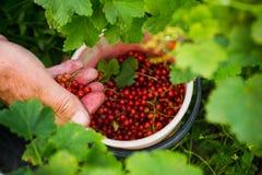 L'agriculteur rassemble les baies mûres de groseille rouge Image stock