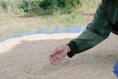 L'agriculteur rassemblent des déchets dans le paddy sec image libre de droits