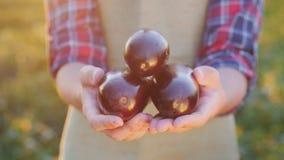 L'agriculteur tient dans des ses mains les légumes qu'il a cultivés - des aubergines photos libres de droits