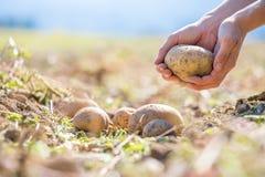 L'agriculteur tient les pommes de terre fraîches dans des ses mains Récolte, nourriture végétarienne organique image stock