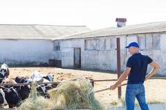 L'agriculteur travaille à la ferme avec des vaches laitières Photo libre de droits