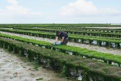 L'agriculteur travaille à la ferme d'huître à marée basse en Grandcamp-Maisy, France Photographie stock