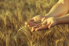 L'agronome se tient sur un grand champ au coucher du soleil, tenant des mains sur des oreilles de grain de blé Images stock