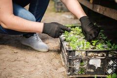 L'agronomo coltiva le piantine nei pomodori della serra Immagine Stock Libera da Diritti