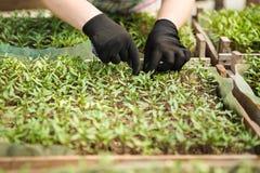 L'agronomo coltiva le piantine nei pomodori della serra Fotografie Stock