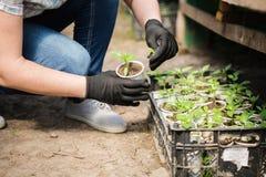 L'agronomo coltiva le piantine nel pepe della serra Immagini Stock