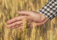 L'agronomo dell'agricoltore sul giacimento di grano tocca la spighetta dorata Immagini Stock Libere da Diritti