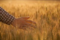 L'agronomo dell'agricoltore sul giacimento di grano tocca la spighetta dorata Fotografia Stock