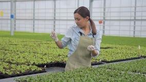 L'agronomo della donna esamina le piante verdi che stanno nella serra dell'azienda agricola stock footage