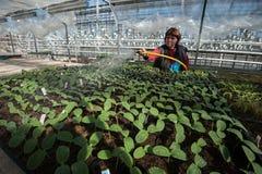 L'agronomo si occupa dei fiori nella serra fotografia stock