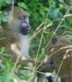 L'aide des babouins Photographie stock