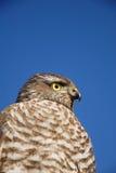 L'aigle Image stock