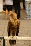 L'aigle Photo libre de droits