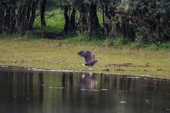 l'aigle Blanc-coupé la queue avec des poissons s'approchent de la rivière IJssel, Pays-Bas Image stock