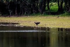 l'aigle Blanc-coupé la queue avec les poissons ensanglantés s'approchent de la rivière IJssel, Pays-Bas Images stock
