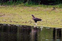 l'aigle Blanc-coupé la queue avec les poissons pêchés s'approchent de la rivière IJssel, Pays-Bas Images stock