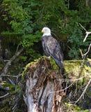 L'aigle chauve était perché sur le tronçon d'arbre dans la forêt Images stock